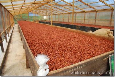 Sooo viele Kakaobohnen!