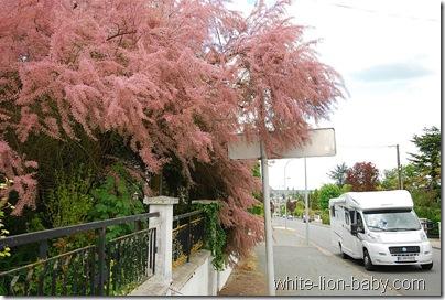 Und auch diese rosa blühenden Bäume waren an vielen Stellen schöne Farbtupfer