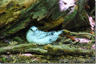 Auch dieser Bodenbrüter - der Weißschwanz-Tropikvogel - kennt keinen Fluchtreflex