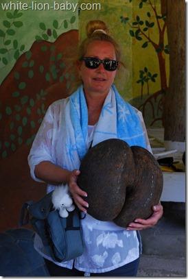 Samen der Seychellenpalme Coco de Mer
