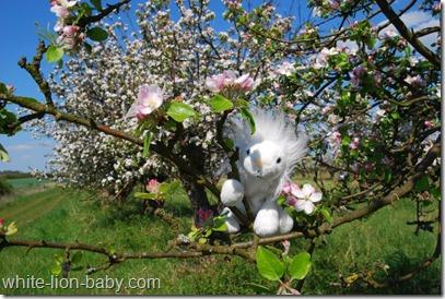Baumblüte auf den Obst-Plantagen der Glindower Platte
